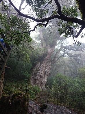 縄文杉2.jpg